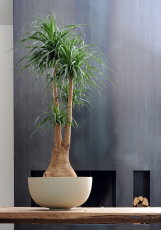 Olifantspoot plant snoeien